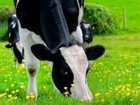 Yeşil ot yiyen ineklerin sütleri niçin beyazdır?
