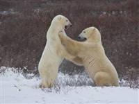 Kutuplardaki hayvanlar nasıl yaşıyorlar?
