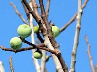 İncir ağacı kış ortasında meyve verdi