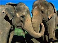 Zıplayamayan tek memeli hayvan fil midir?