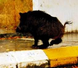 Şehrin ortasında domuz avı