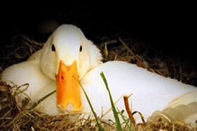 Siyasette 'Pekin ördeği' kriteri