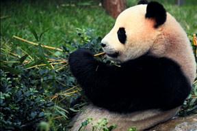 Bambu keyfi