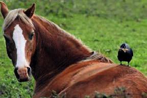 Atın tüylerini koparıp kendine yuva yaptı