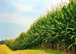 Pamuk üreticisi mısıra dönüş yapıyor