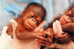 İkiz orangutanlar