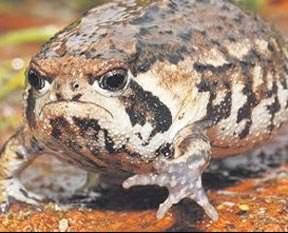 Kurbağa surat