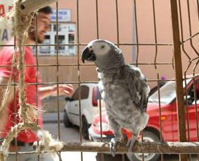 Papağan Çakır miyavlıyor