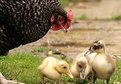 Anne tavuk yavrular ördek