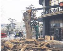 Sabancılar'ın ağaç katliamı