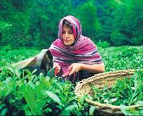 Çay, fındık üreticisine 979.3 milyon lira