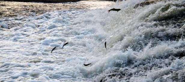 100 milyon balık bırakıldı