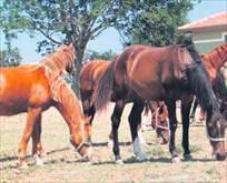 TiGEM Arap atı satın alacak